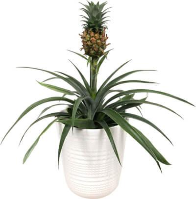 anti-snurk-plant-ananas-bromelia-pineapple